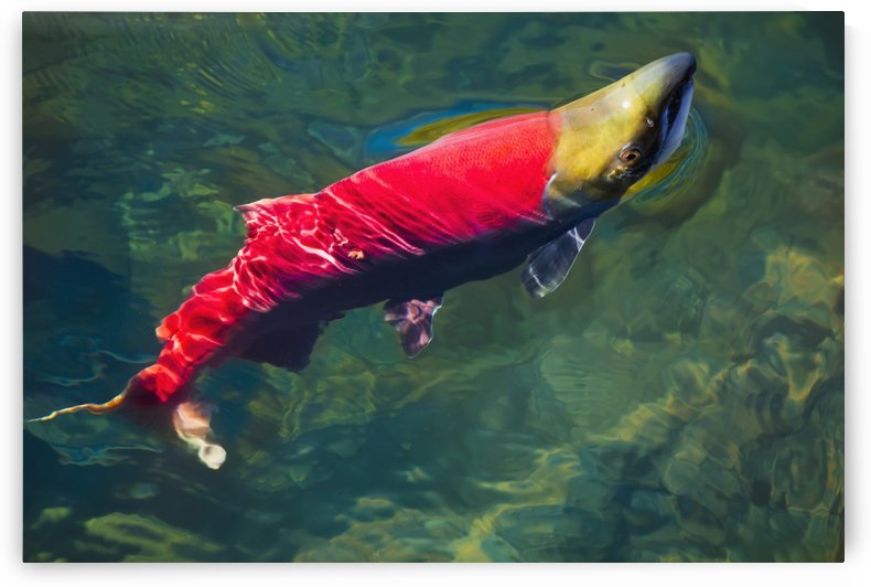 A sockeye salmon (oncorhynchus nerka) makes it way to the adams river spawning grounds;British columbia canada by PacificStock