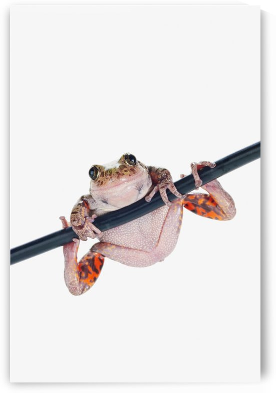 Fire-leg walking frog on white background;St. albert alberta canada by PacificStock