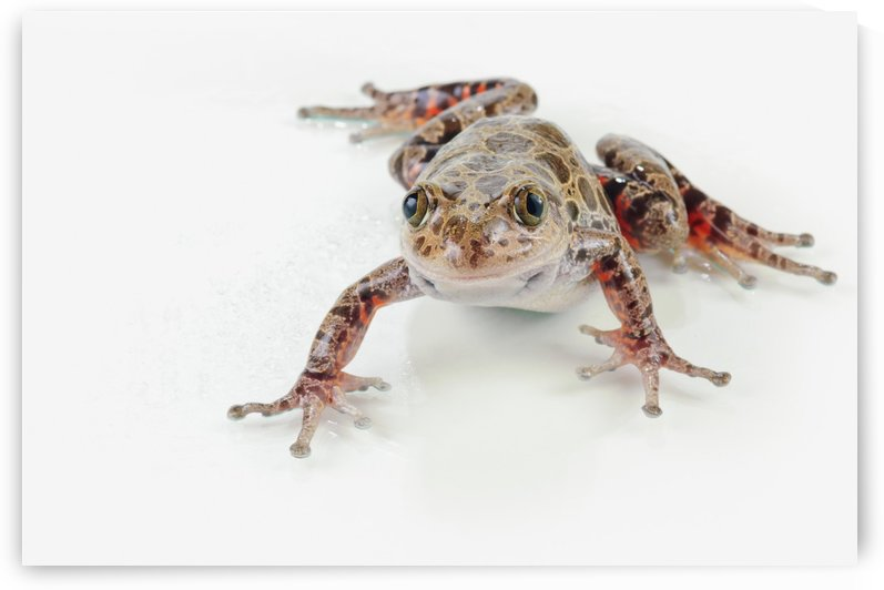 Fire-leg walking frog (kassina maculosa) on white background;St. albert alberta canada by PacificStock