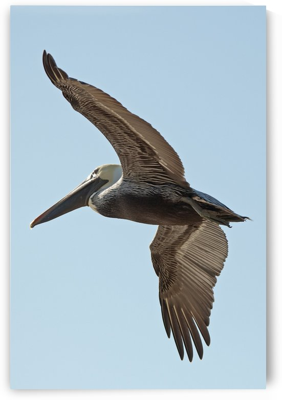 A bird in flight;Gulf shores alabama united states of america by PacificStock