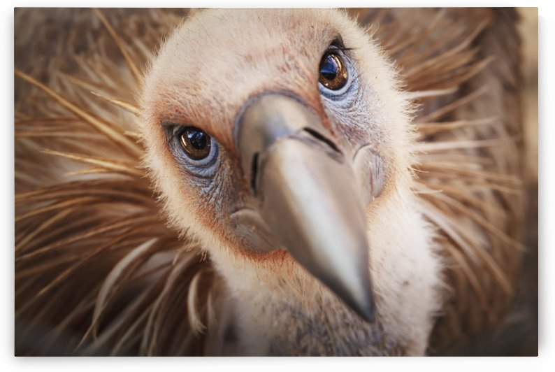 Griffon vulture (gyps fulvus);Israel by PacificStock