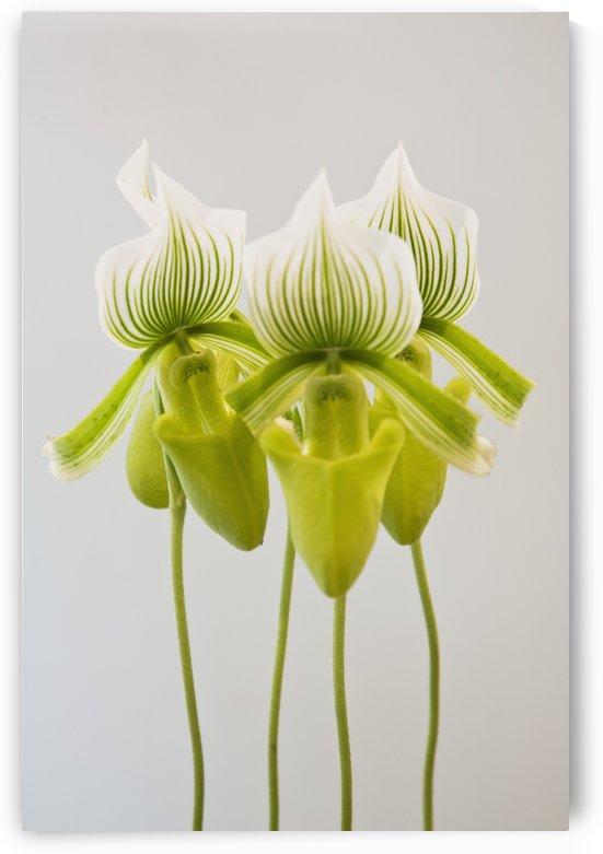 Paphiopedilum maudiae femma;Venlo holland by PacificStock