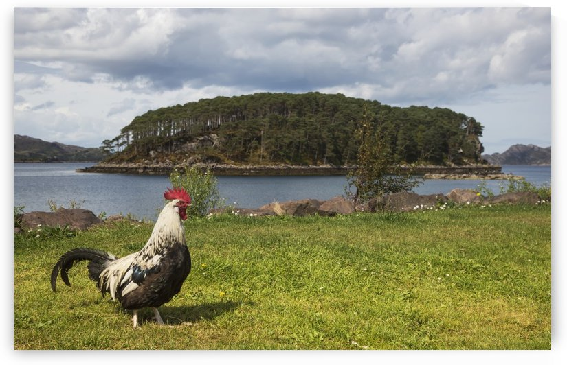 A rooster walks on the grass at the water's edge;Sheildaigh wester ross scotland by PacificStock