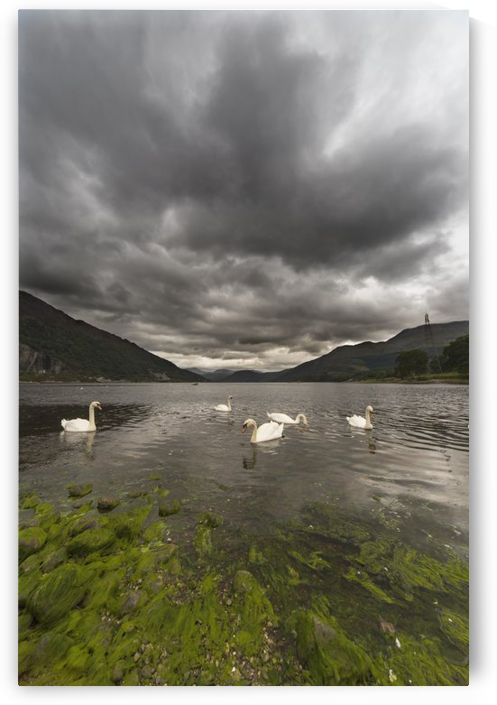 Swans swimming in the water of loch etive;Bonawe argyle and bute scotland by PacificStock
