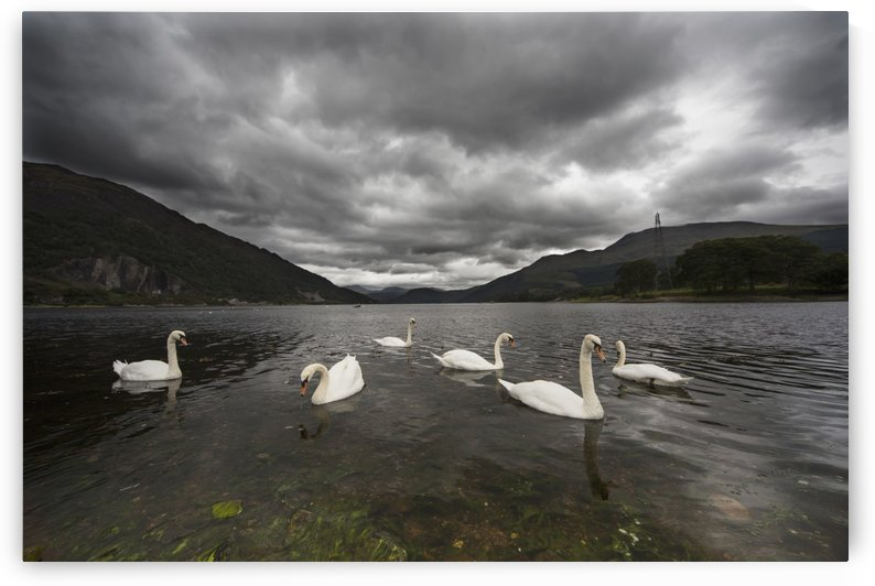 Swans swimming in the shallow water of loch etive under a stormy sky;Argyl and bute scotland by PacificStock