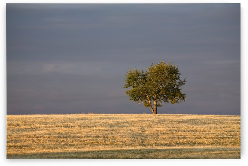 A single tree in a golden field at sunrise;Alberta canada by PacificStock