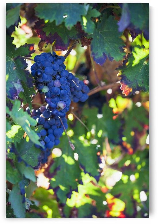 Grapes growing on a vine;Laguardia la rioja spain by PacificStock