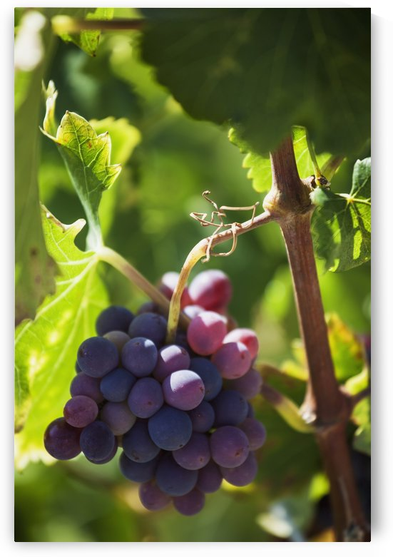 Grapes growing on a vine;La rioja spain by PacificStock