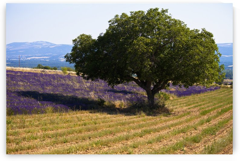 Blooming field of lavender (lavandula angustifolia) with mountains in the background;Vaucluse provence france by PacificStock