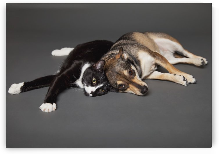 Portrait of a dog and cat laying together on a grey background;Edmonton alberta canada by PacificStock