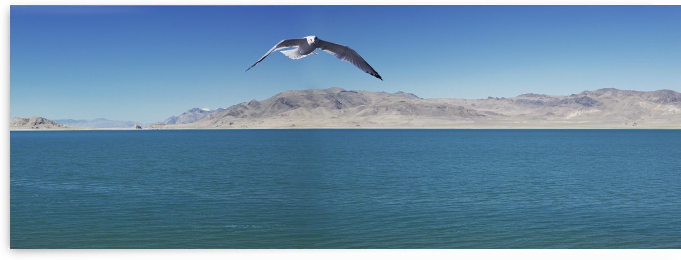 Seagull over pyramid lake;Nevada united states of america by PacificStock