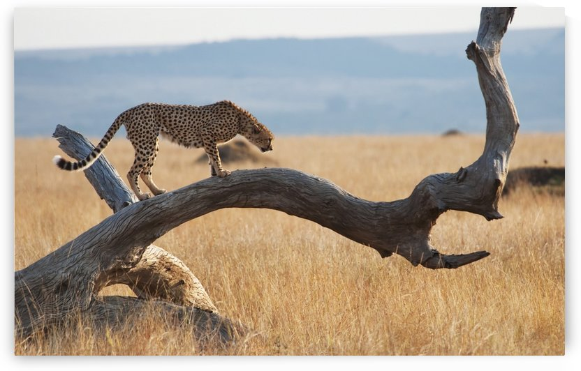 A cheetah (acinonyx jubatus) on a tree;Maasai mara kenya by PacificStock