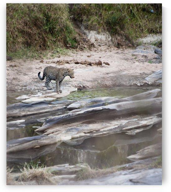 A cheetah stands at the edge of the river during migration;Maasai mara kenya by PacificStock