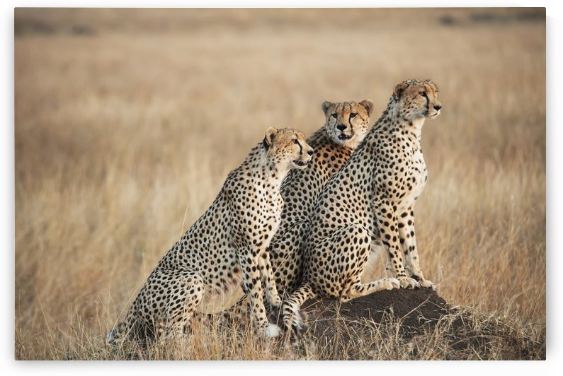 Three cheetahs standing together with a watchful eye in the maasai mara national reserve;Maasai mara kenya by PacificStock