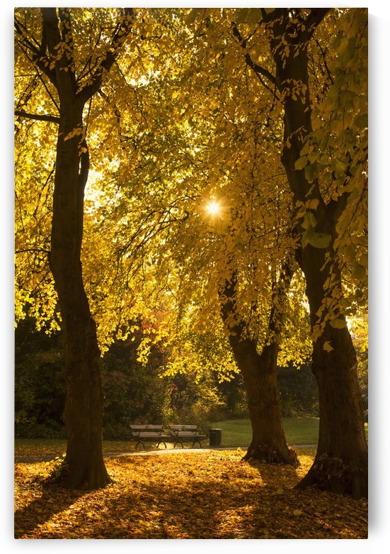 Sunlight glowing through the leaves of trees in autumn colours;Gateshead tyne and wear england by PacificStock