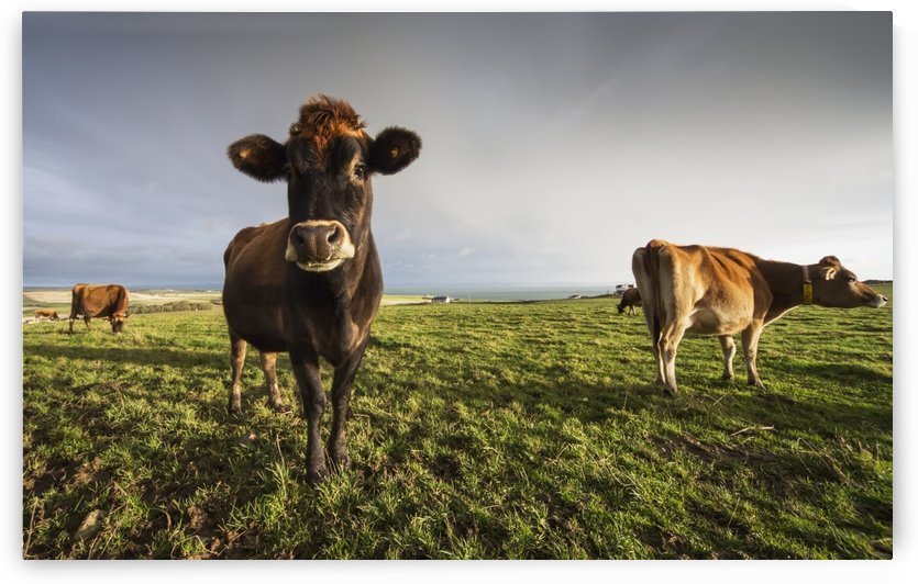 Cows in a field with one cow staring at the camera;Dumfries and galloway scotland by PacificStock