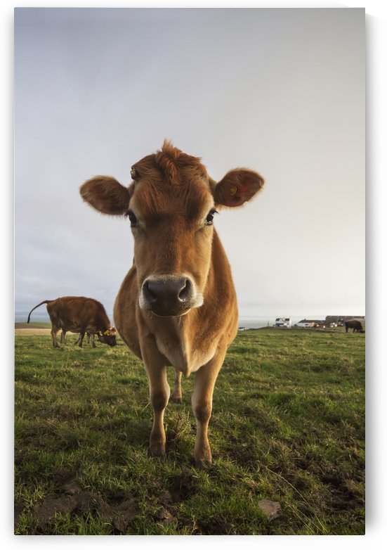A cow staring at the camera;Dumfries and galloway scotland by PacificStock