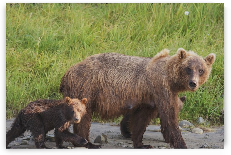 A brown bear (ursus arctos) walking with it's cub;Alaska, united states of america by PacificStock