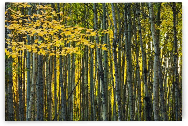 Yellow fall birch leaves against an aspen forest;Alberta, canada by PacificStock