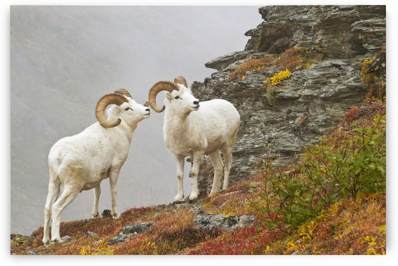 Dall's sheep (ovis dalli) rams standing by rock outcrop in alpine tundra in autumn, denali national park;Alaska, united states of america by PacificStock