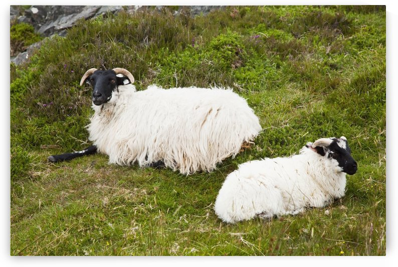 Sheep laying on the grass;Bogroad, county galway, ireland by PacificStock