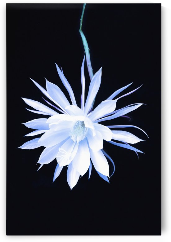 The queen of the night blooming cereus cactus;Anchorage, alaska, united states of america by PacificStock
