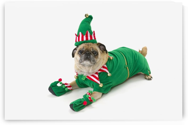 A pug in a christmas elf costume;St. albert, alberta, canada by PacificStock