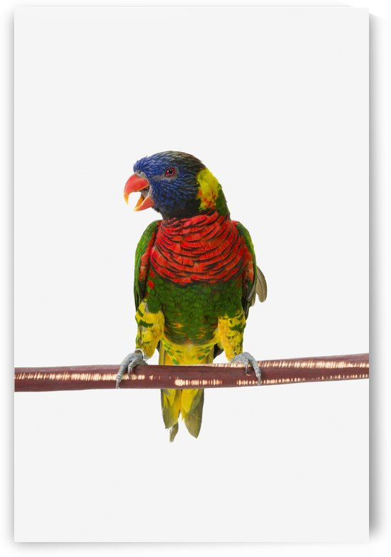 A colourful lorikeet parrot on a white background;St. albert, alberta, canada by PacificStock