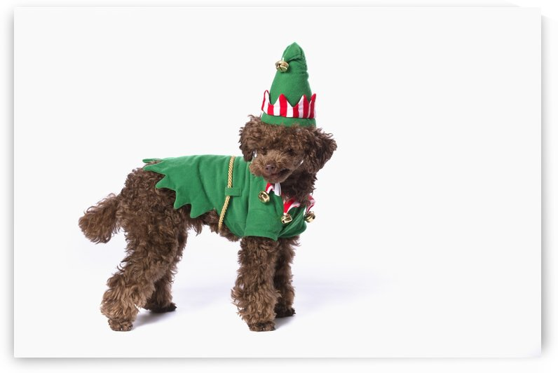 Brown poodle with christmas jester costume;St. albert, alberta, canada by PacificStock