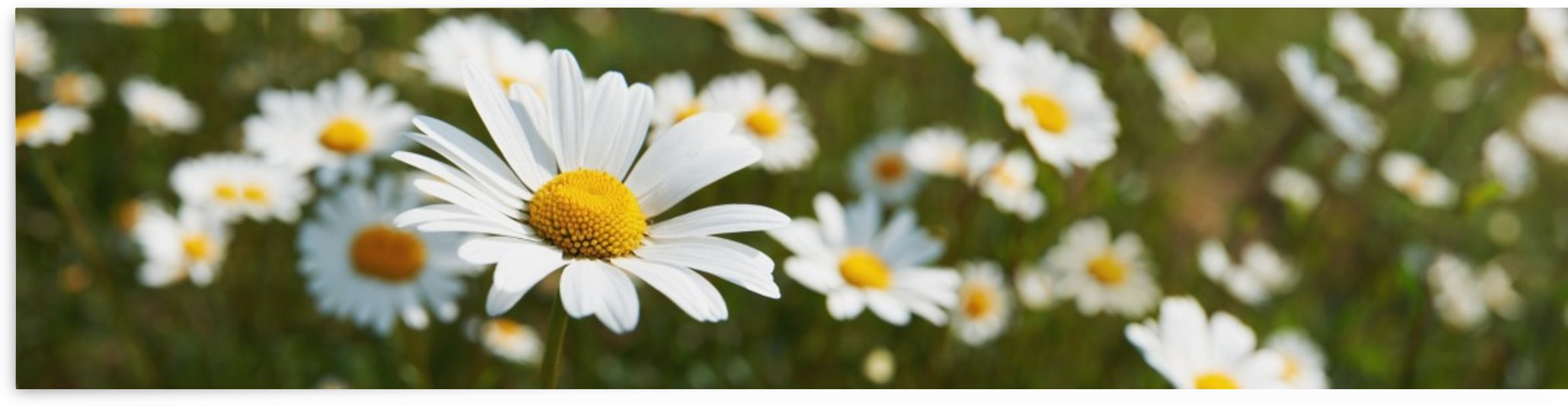 Close up of daisies in a meadow;England by PacificStock