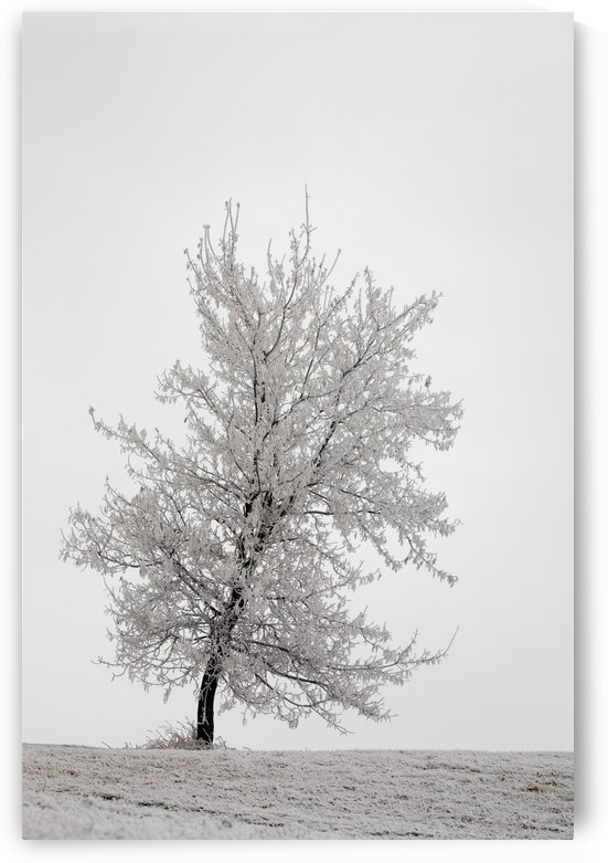 One frosted tree on a snow covered hillside on an overcast day;Calgary alberta canada by PacificStock