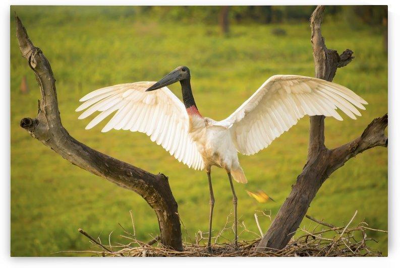 Jabiru stork (jabiru mycteria) spreads its wings on a nest;Pantanal brazil by PacificStock