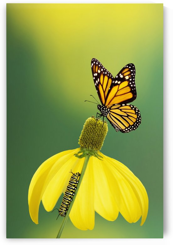 Caterpillar to butterfly;British columbia canada by PacificStock