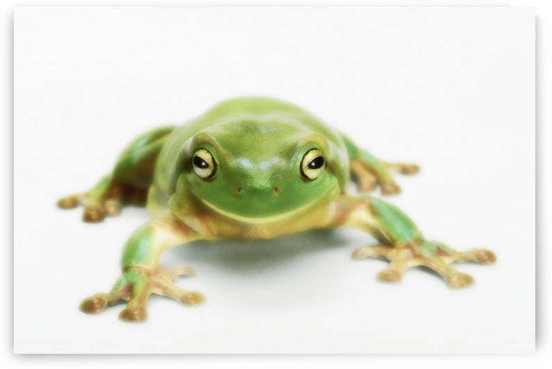 White's tree frog (litoria caerulea);British columbia canada by PacificStock