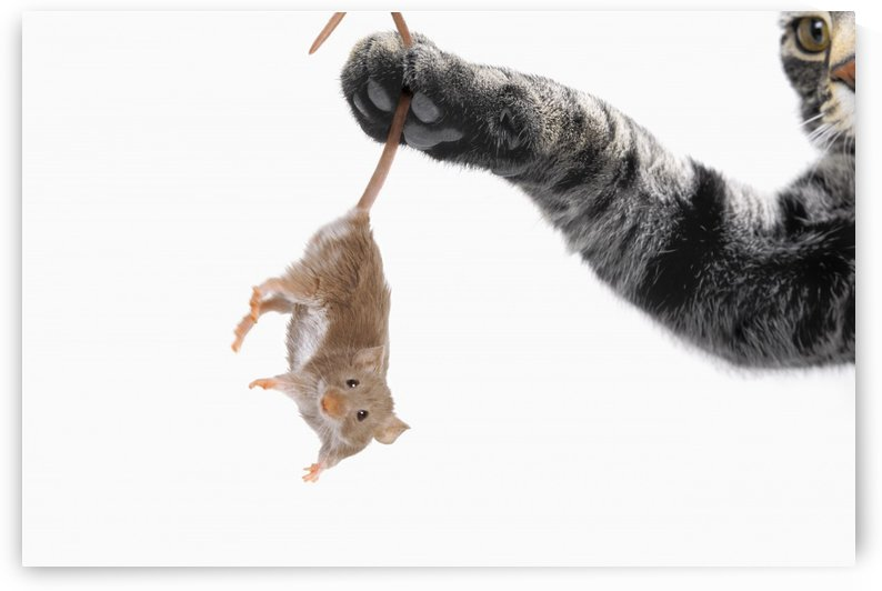 Mouse dangling from grey tabby cat's paw;Vancouver british columbia canada by PacificStock