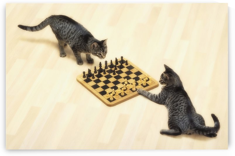 Two grey tabby cats playing chess;Vancouver british columbia canada by PacificStock