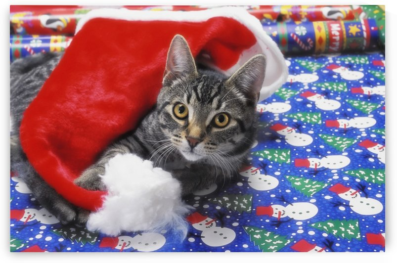 Grey tabby cat with santa claus hat lying on christmas gift wrap;Vancouver british columbia canada by PacificStock