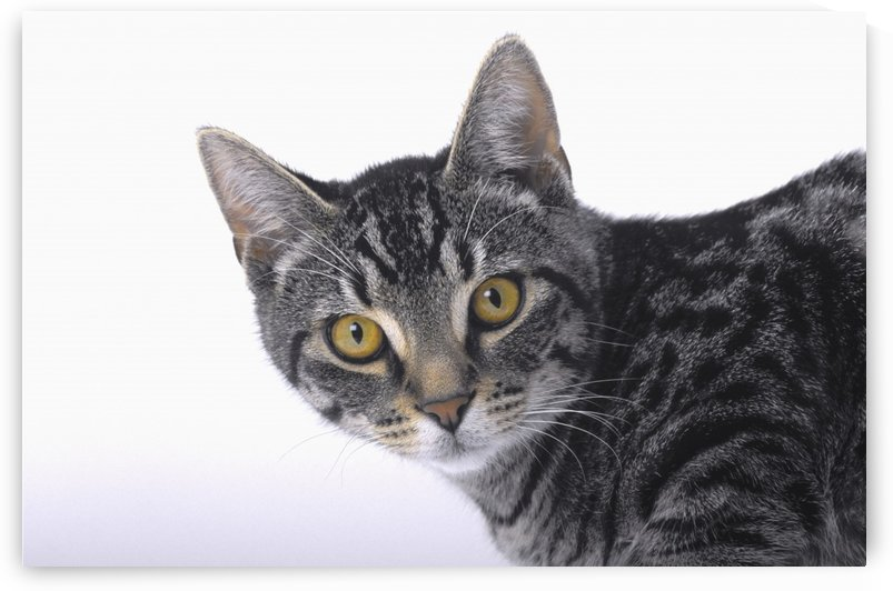 Portrait of a grey tabby cat;Vancouver british columbia canada by PacificStock