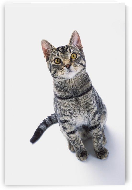 Grey tabby cat looking upward;Vancouver british columbia canada by PacificStock