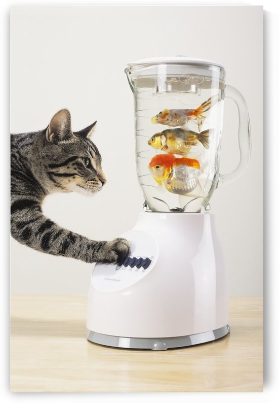 Grey tabby cat with paw on blender filled with goldfish;Vancouver british columbia canada by PacificStock