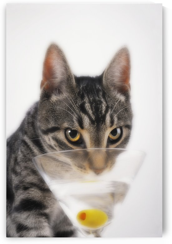 Grey tabby cat drinking martini;Vancouver british columbia canada by PacificStock