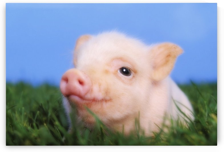 Baby pig lying on grass;British columbia canada by PacificStock