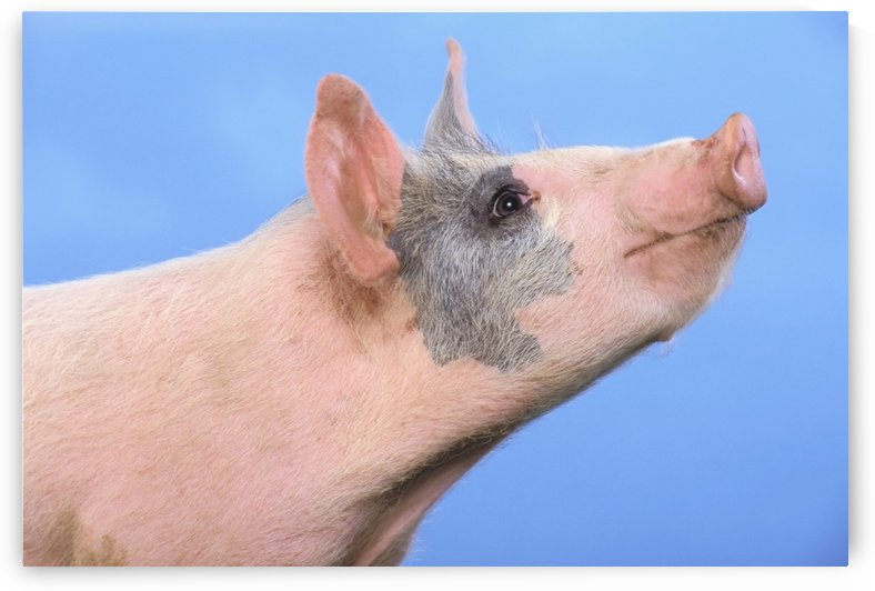 Pig with a blue background;British columbia canada by PacificStock