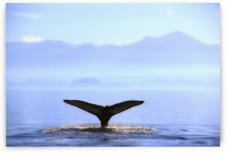 Humpback Whale's Tail Lifting Out Of Ocean;Alaska United States Of America by PacificStock