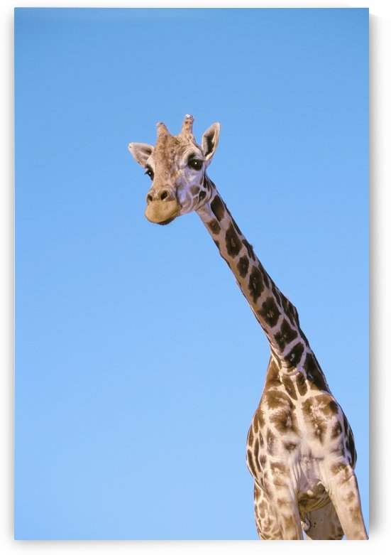 A giraffe against a blue sky;Africa by PacificStock