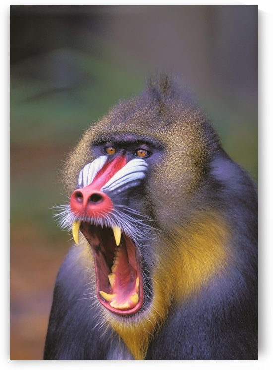 Roaring mandrill baboon;Florida united states of america by PacificStock