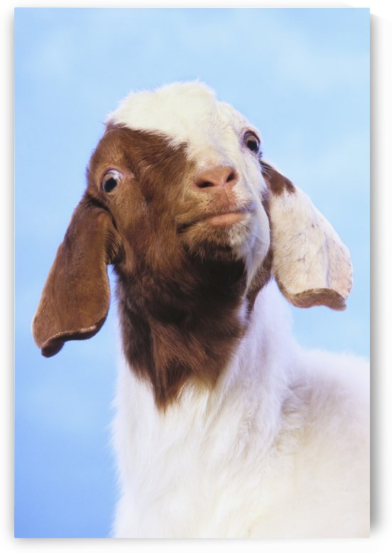 Goat;British columbia canada by PacificStock