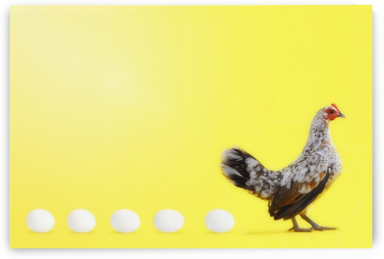 Hen standing in line with five eggs;British columbia canada by PacificStock