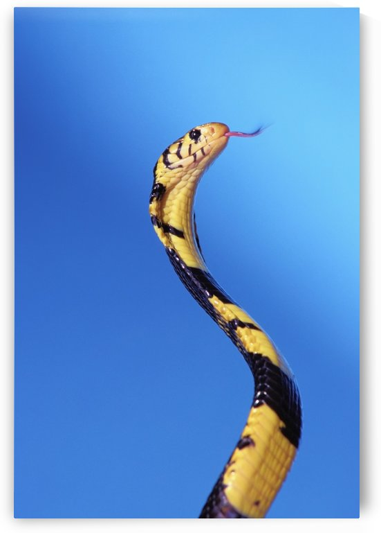 Forest cobra (naja melanoleuca) against a blue background;British columbia canada by PacificStock