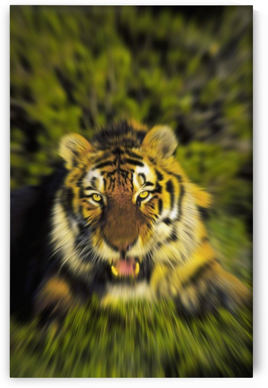 Charging siberian tiger (panthera tigris altaica);Africa by PacificStock